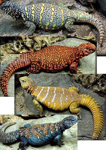 I miss my Izzy... Spiny Tailed Lizards (Uromastyx) are primarily herbivorous, but occasionally eat insects, especially when young. They spend most of their waking hours basking in the sun, hiding in underground chambers at daytime or when danger appears. They tend to establish themselves in hilly, rocky areas with good shelter and accessible vegetation.