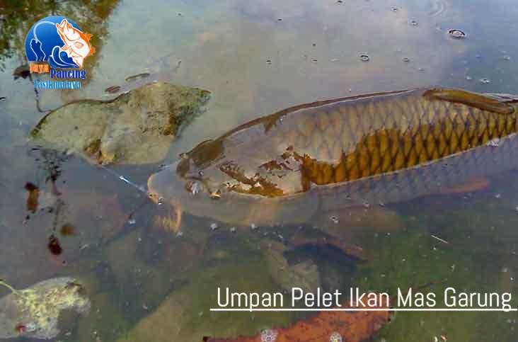 Resep Jitu Umpan Pelet Ikan Mas Garung Yang Sudah Terbukti Ampuh Dapat Menambah Nafsu Makan Ikan Lebih Lahap Dengan Serbuk Pelet Super Aquat Fish Pet Pets Fish