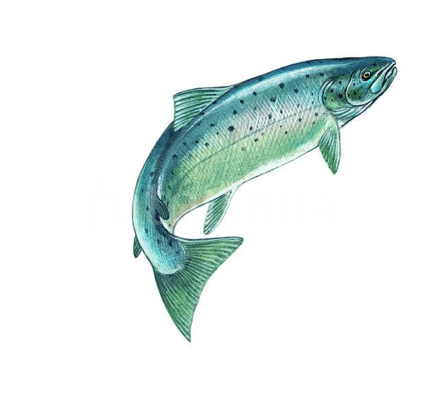 24 best images about my tattoo on pinterest free photos for Salmon fish images