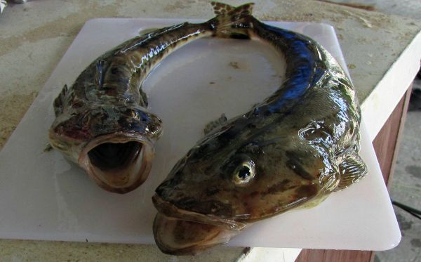 Freshly Caught Flathead for Dinner! Article and photo for www.think-tasmania.com #Fishing
