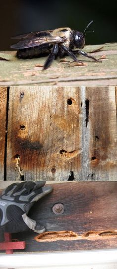 """Wood Bees """"Carpenter Bees"""" Nasty to get rid of. They come back year after year and more holes only attract more the following spring. And woodpeckers love to eat them. Once they bore into the wood and lay eggs, the woodpeckers will tear the place down getting at the larva. How to get rid of…"""