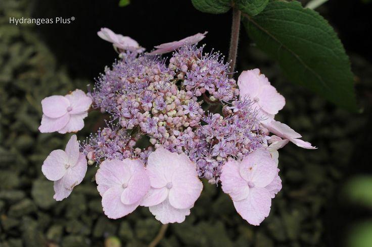 hydrangea aspera mauvette zone 7a shade pinterest gardens the o 39 jays and lavender. Black Bedroom Furniture Sets. Home Design Ideas