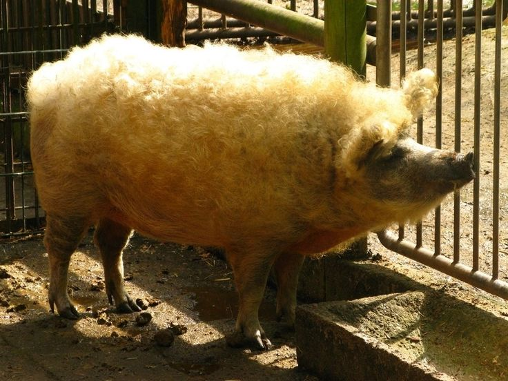 A woolly Mangalitsa pig from Hungary, a cross between a wild boar and a pig bred especially for lard. Supposedly delicious.