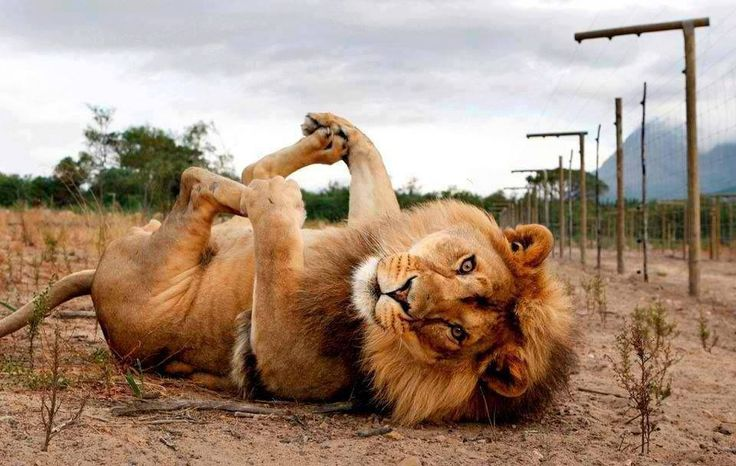 Big baby lion playing with his footsies!!  :D
