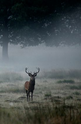 *Stag in the Mist