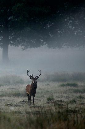Stag in mist. http://annabelchaffer.com/