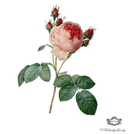 Parisian Rose. pink rose tattoo. vintage rose tatttoo, fine art rose tattoo, Body art, skin art,  Wickedly Lovely Skin Art Temporary Tattoo