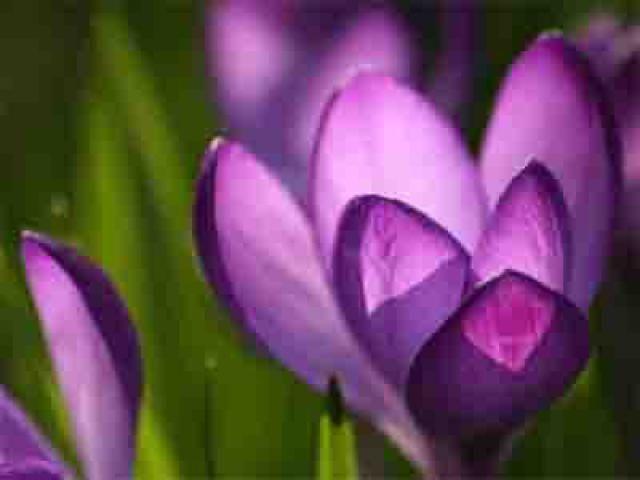 23 Beautiful Spring Wallpapers for Your Dekstop: Purple Crocus by WallpaperStock