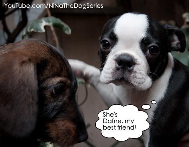 I present you #Dafne a #dachshund: she's my #bestfriend.