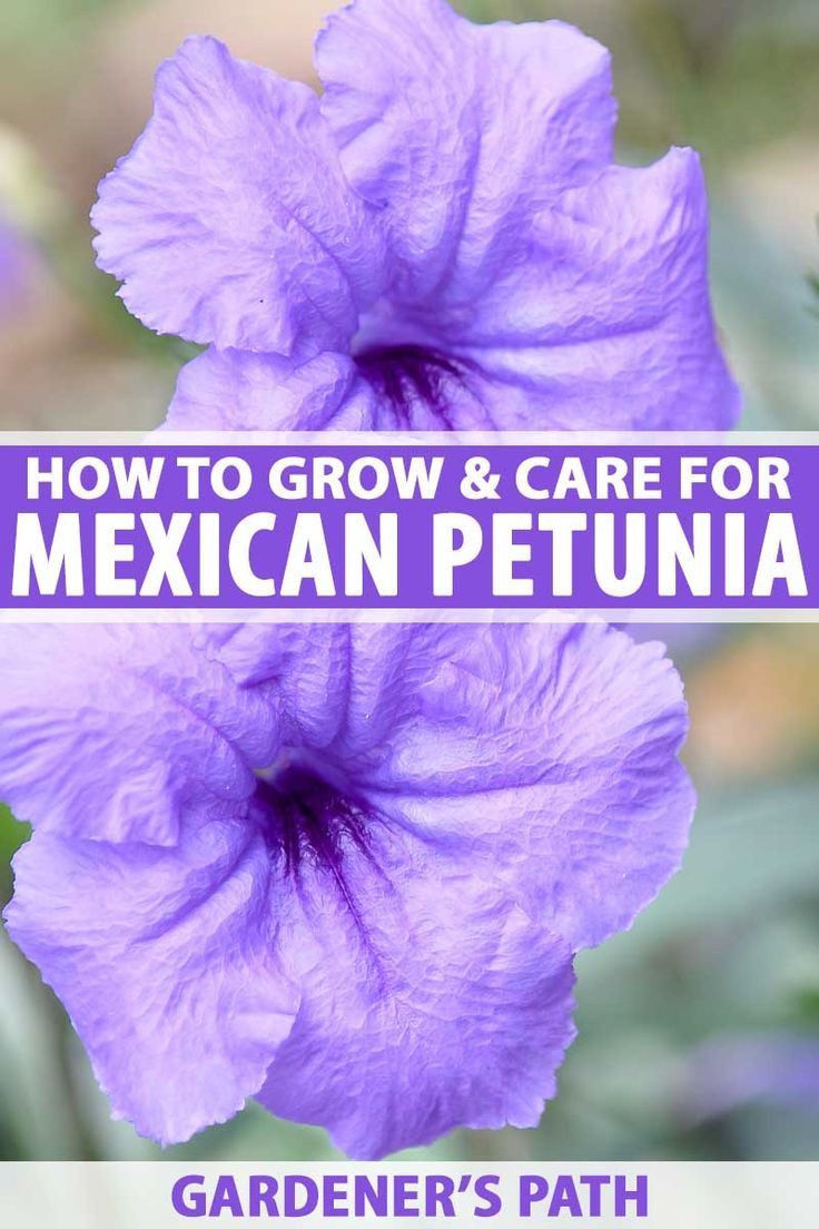 Searching For A Versatile Low Maintenance Shade Plant That Also Does Well In The Sun Try Mexican Petunia Also Known As R Shade Plants Petunias Petunia Plant