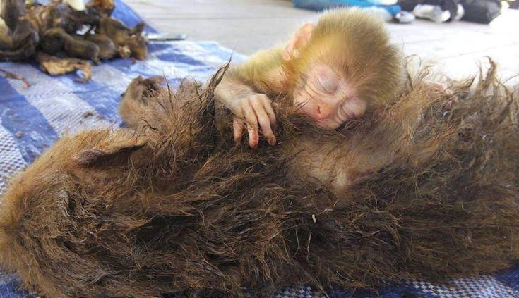 Des photos récemment publiées capturent sur pellicule l'horreur du braconnage, quelques instants après qu'un chasseur ait pris la vie de la mère d'un petit singe.  ATTENTION : certaines photos sont choquantes. La semaine dernière, une femelle macaque …