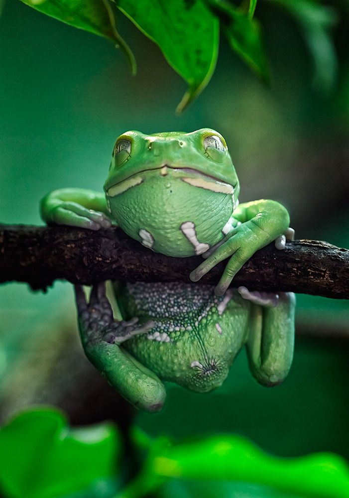 reptiles animal chameleon frog - photo #21
