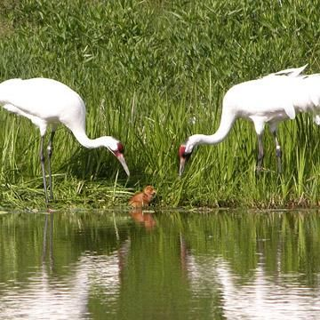 International Crane Foundation in Baraboo, Wisconsin, one of the highlights of a Wisconsin Dells trip. (Photo Courtesy of Wisconsin Dells Visitor & Convention Bureau.) More on the Wisconsin Dells: http://www.midwestliving.com/travel/wisconsin/wisconsin-dells/highlights-of-the-wisconsin-dells/
