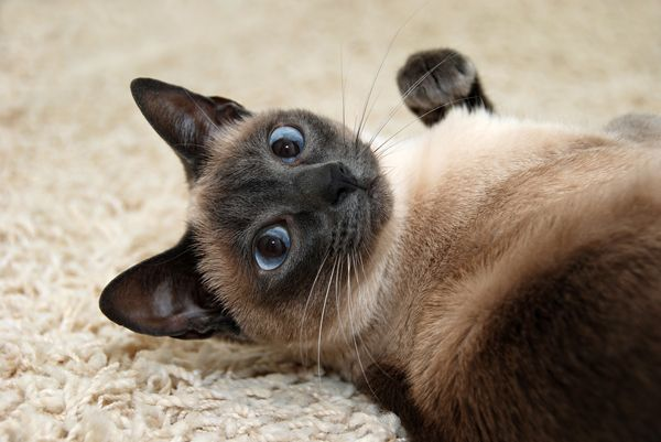 Oriental breed cats' coats can darken for a couple of different reasons. Siamese cat laying on carpet by Shutterstock