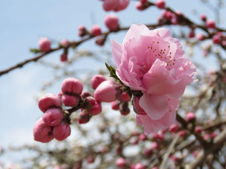 Japão - as dicas essenciais que você precisa para organizar uma viagem ao país na época da floração das cerejeiras.