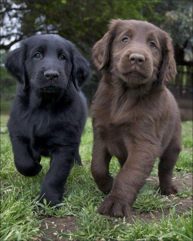 Flat Coated Retriever Hund Baby Dogs Cute Animals Cute Dogs