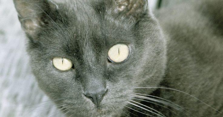 Tipos de gatos grises de pelo corto. Los gatos grises de pelo corto son amigos adorables y peluditos para cualquier hogar, según su personalidad. A algunos gatos grises de pelo corto les encanta la atención y acurrucarse mientras que a otros les gusta su espacio y tiempo de silencio. Muchos gatos grises se llevan bien con los niños y otras mascotas en el hogar, mientras que otros no ...