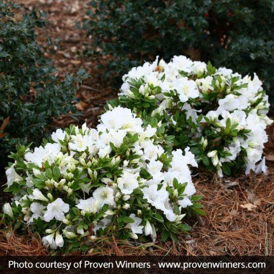Bloom A Thon White Reblooming Azalea With Images Azaleas Azalea Shrub