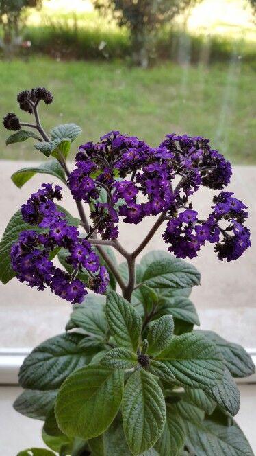 Heliotropo (Heliotropium arborescens) Flores Violeta profundo con perfume de vainilla