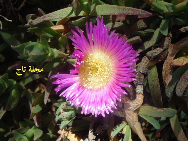 زهرة اصبع الساحر Blog Plants Blog Posts