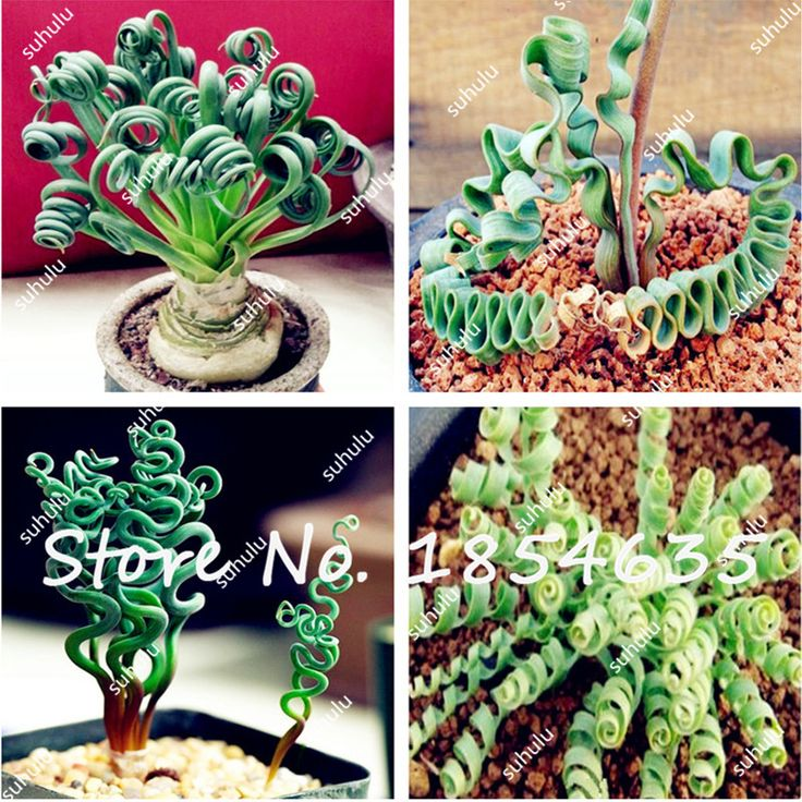 Cheap 100Pcs Latifolia Spring Grass Seed Albuca Namaquensis Chinese Ornamental Bonsai Plant Seed Decorative DIY Interesting