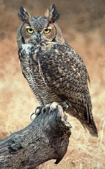 Great Horned Owl- Coyote Hills Regional Park and Golden Gate Park
