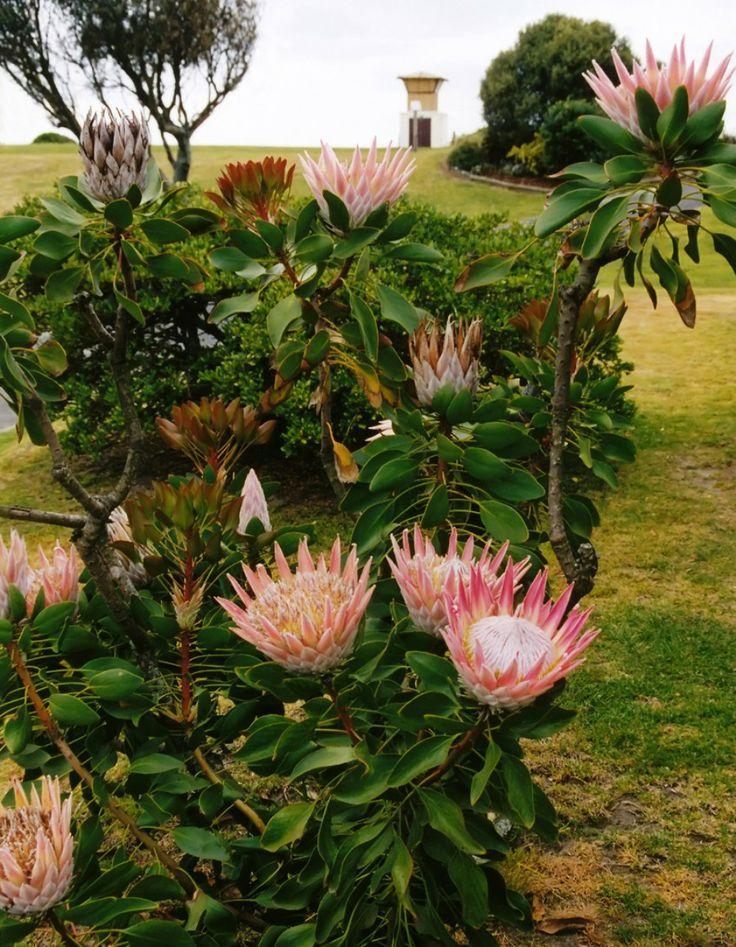 Sugarbushes (Protea) at Papamoa Beach in Tauranga