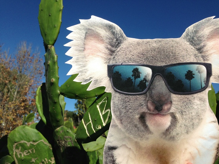 Take a photo of Cooladdi the koala living the Koalafornia dream and tag it on Instagram or Twitter with the #koalafornia hashtag to enter to win an all expenses paid trip with a friend to the San Diego Zoo for the opening of the new Conrad Prebys Australian Outback exhibit. More info: www.sandiegozoo.org/koalafornia/contest
