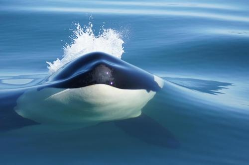 orca whale~~another non-furry but awesome!!!!~~  Amazing shot.... Very beautiful creatures but very dangerous