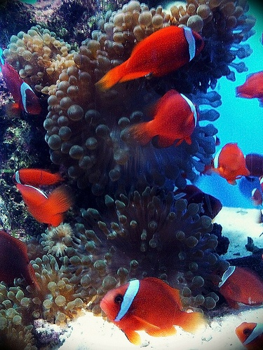 17 best images about our saltwater aquarium on pinterest for Freshwater clown fish