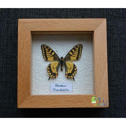 Бабочка Махаон - Парусник Махаон в рамке