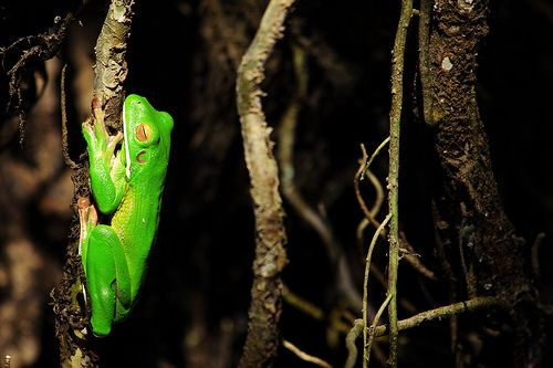 Daintree Frog (White-lipped tree frog - CATG)