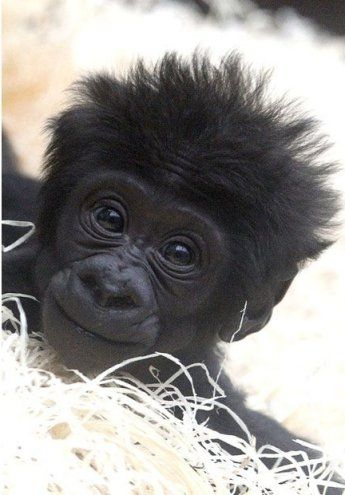 Gorilla baby Kajolu sits in its enclosure at Munich's Zoo Hellabrunn, Germany...
