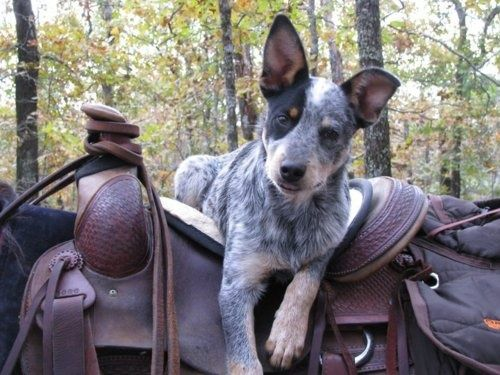 Australian cattle dog, blue heeler, a favorite of horse people  Anyone for a ride?