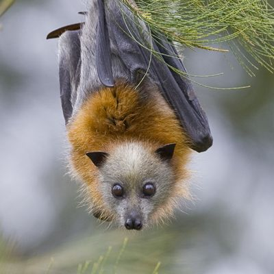 "Grey Headed Flying Fox Prionailurus planiceps ""It has a cape and a fan"""