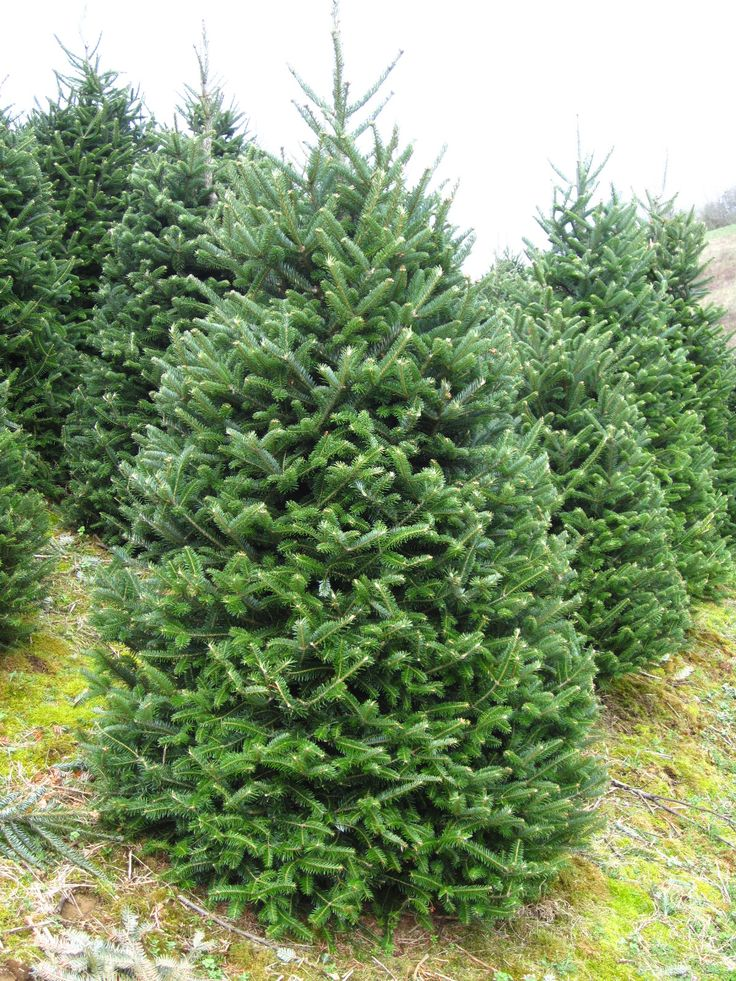 Fraser Fir Trees The Perfect Christmas Tree Strong Branches ...