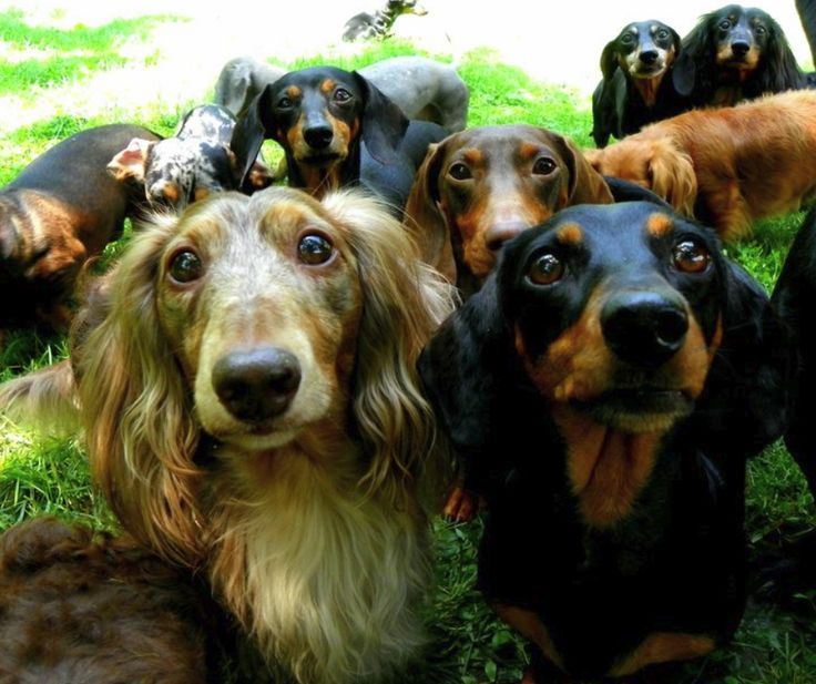 gaggle of doxies: Dachshund Dogs, Weenie Dogs, Doxi, Dogs Puppies, Doggies Backyard, Adorable Dogspuppi, Backyard For Dogs, Weiner Dogs, Wiener Dogs