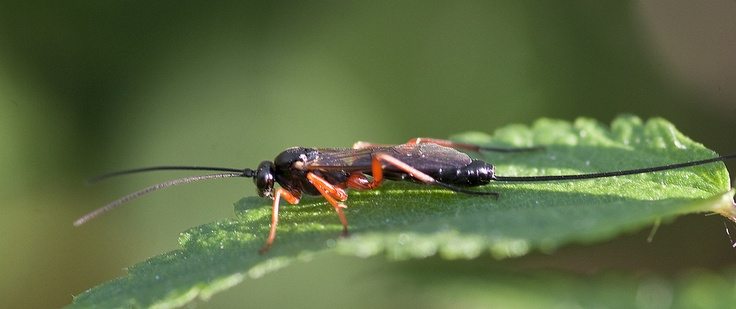 This is a wood wasp with a HUGE ovipositor. Thank you Frupus! http://www.flickr.com/photos/frupus/