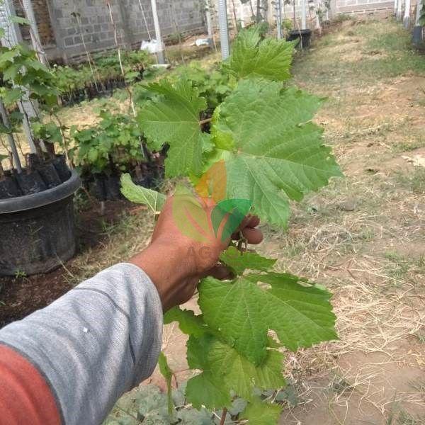 Kebun Anggur Di India