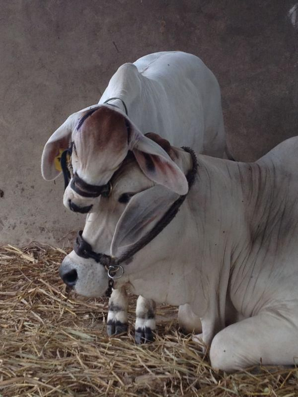 """The cow's calf not only is beautiful to look at, but also gives satisfaction to the cow, and so she delivers as much milk as possible. But in the Kali-yuga, the calves are separated from the cows as early as possible...The cow stands with tears in her eyes, the śūdra milkman draws milk from the cow artificially, and when there is no milk the cow is sent to be slaughtered. These greatly sinful acts are responsible for all the troubles in present society.""   -A.C. Bhaktivedanta Swami…"