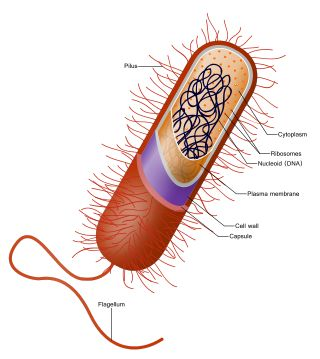 Bacterial cell structure - Wikipedia, the free encyclopedia