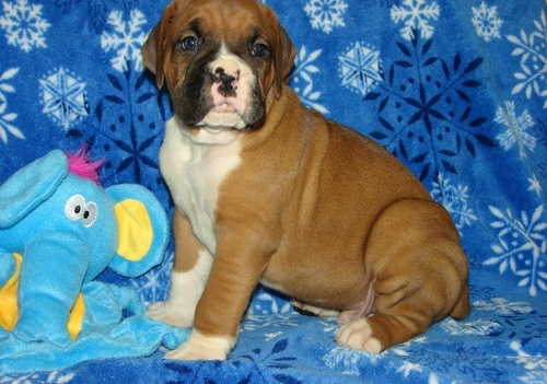 Boxer Puppies For Sale. for sale in Liverpool. Boxer Puppies For Sale. available on car boot sale in Liverpool. More Dogs for sale in Liverpool and more second hand sale ads for free on 2lazy2boot - Liverpool car boot fairs - 17400