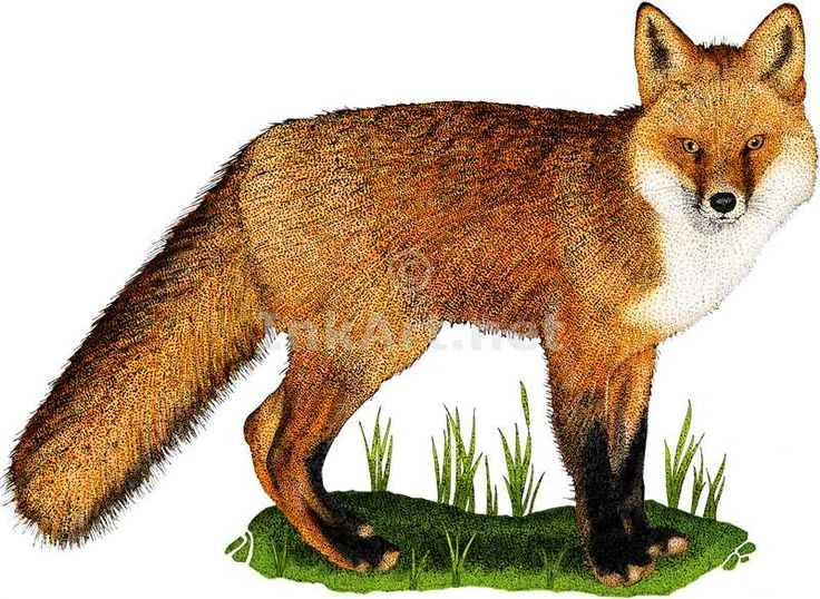 Full color illustration of a Red Fox (Vulpes vulpes)