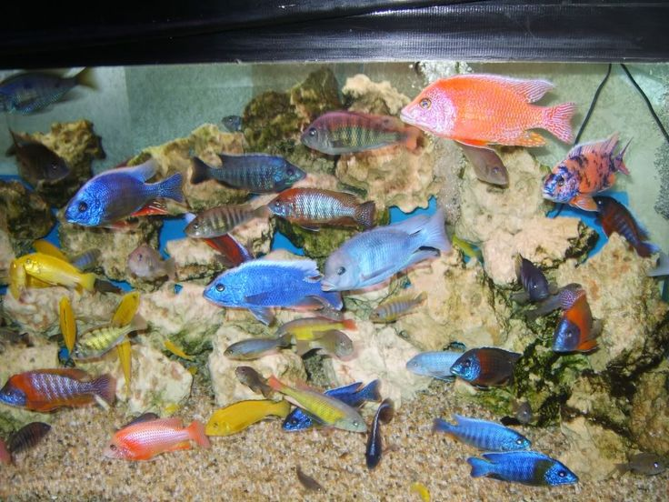 32 best images about cichlids on pinterest yellow top for Where to buy aquarium fish