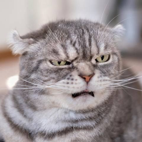 114 best Annoyed Cats: Funny Faces images on Pinterest ...