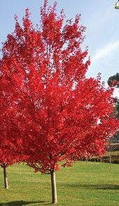 Canadian Maple Autumn Blaze Acer X Freemanii Jeffersred