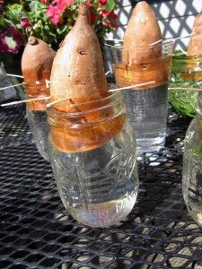 lets grow sweet potatoes!