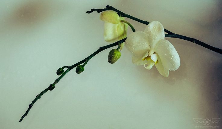 """White Orchid - """"I must have flowers, always, and always.""""  ― Claude Monet"""