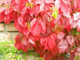 Parthenocissus tricuspidata 'Veitchii Robusta' (Oosterse wingerd of Japanse wilde wingerd)  Een Oosterse wingerd met een prachtige herfstkleur. Verliest in de winter zijn bladeren.  Hecht zich aan muren met kleine zuignapjes. Parthenocissus tricuspidata 'Veitchii Robusta', een oosterse wingerd, is een zelf hechtende klimplant met een onopvallende bloei maar met een schitterende rode herfstkleur.
