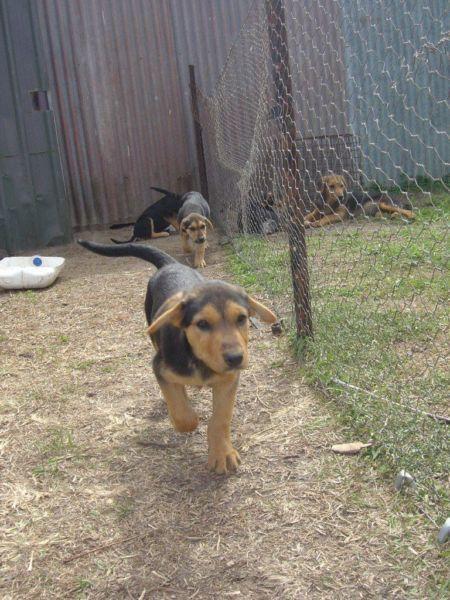 new zealand huntaway new zealand huntaway puppies dogs. Black Bedroom Furniture Sets. Home Design Ideas
